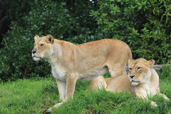 Lions at Auckland Zoo